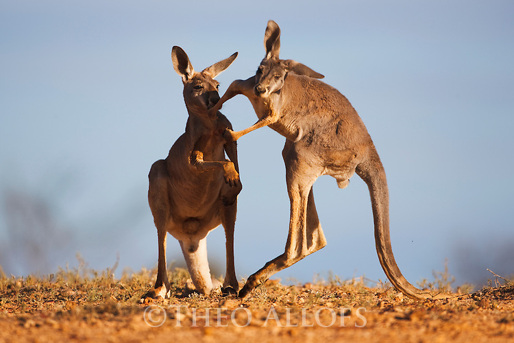 Australia,  NSW, Sturt National Park; young red kangaroos playing (Macropus rufus); the red kangaroo population increased dramatically after the recent rains in the previous 3 years following 8 years of drought