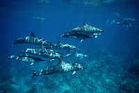 Spinner dolphins, Stenella longirostris, are always found in large groups, often numbering more than one hundred.  Hawaii.