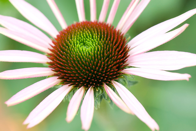 Echinacea flower (cultivar unknown), mid August.