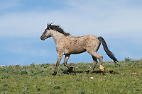 Wild Horse or feral horse (Equus ferus caballus) stallion running.  Western U.S., summer.