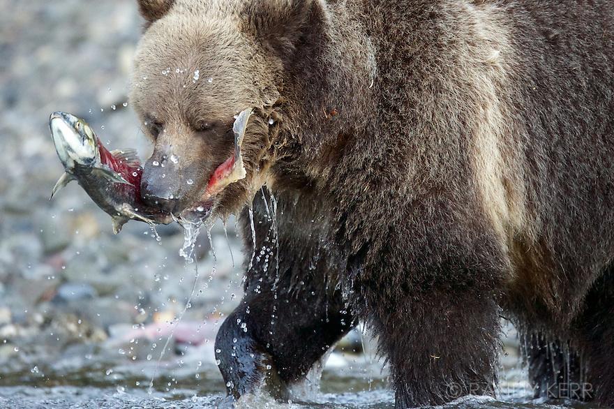Grizzly bears feeding on sockeye salmon which spawn every fall on Chilko Lake.