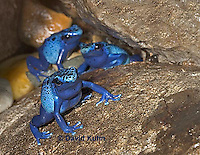 0929-07tt  Dendrobates azureus - Blue Poison Arrow Frog ñ Blue Dart Frog  © David Kuhn/Dwight Kuhn Photography