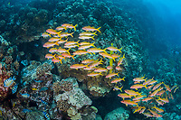 school of yellow goatfish, Mulloidichthys vanicolensis, swimming over nesting area of Hawaiian sergeant or banded damselfish, Abudefduf abdominalis, Lanai, Hawaii, USA, Pacific Ocean