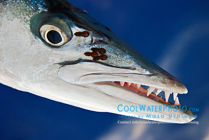 Great Barracuda with parasitic copepods, showing razor sharp teeth, Sphyraena barracuda, off Kona Coast, Big Island, Hawaii, Pacific Ocean.
