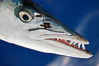 Great Barracuda with Parasitic Copepods showing razor ...