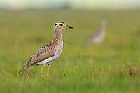 Juvenile Double-striped Thick-knee (Burhinus bistriatus). Veracruz, Mexico. October.