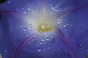 Close up of purple morning glory with raindrops