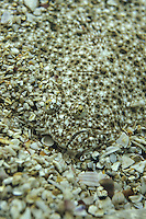 Steinbutt, perfekt auf Untergrund getarnt, Tarnung, Stein-Butt, Butt, Psetta maxima, Bothus maximus, Rhombus maximus, Scophthalmus maximus, turbot, breet, britt, butt, Plattfisch