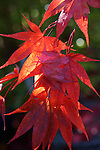 Evening sunlight illuminates  Japanese Red Maple leaves ©12016. Jim Bryant Photo. ALL RIGHTS RESERVED.