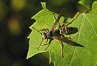 Paper Wasp (Polistes fuscatus), a member of the yellowjacket (Vespidae) family,  basks on leaf in September sun, Rondeau Provincial Park, southwestern Ontario, Canada.