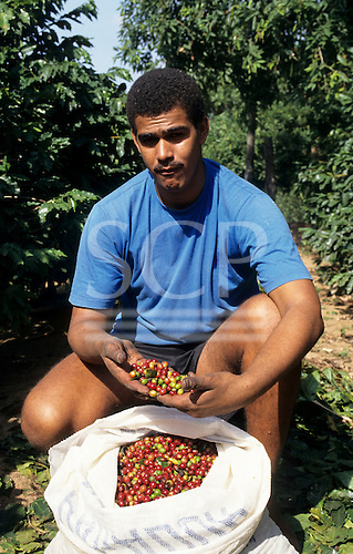 Rio de Janeiro State, Brazil. Coffee worker with a bag of freshly picked coffee beans.
