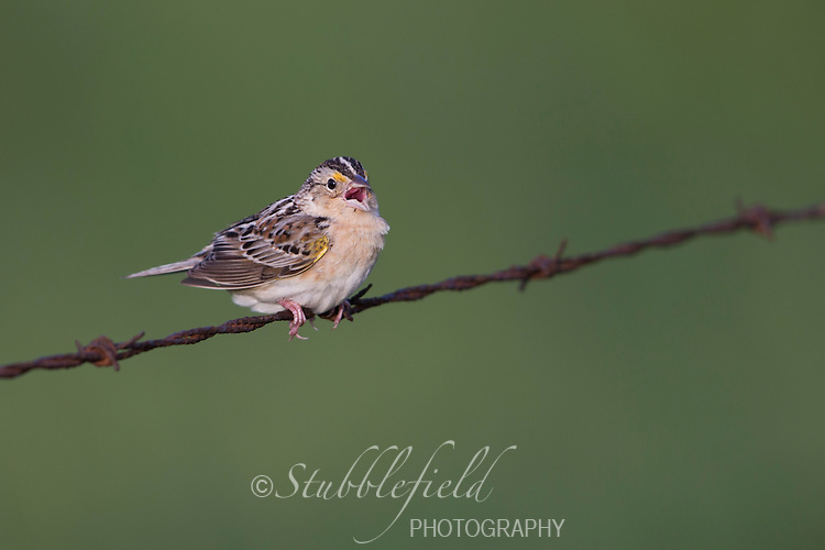 Grasshopper Sparrow (Ammodramus savannarum pratensis), Eastern subspecies singing on a barbed wire fence in it's breeding territory along Russell Road near Westernport, Maryland
