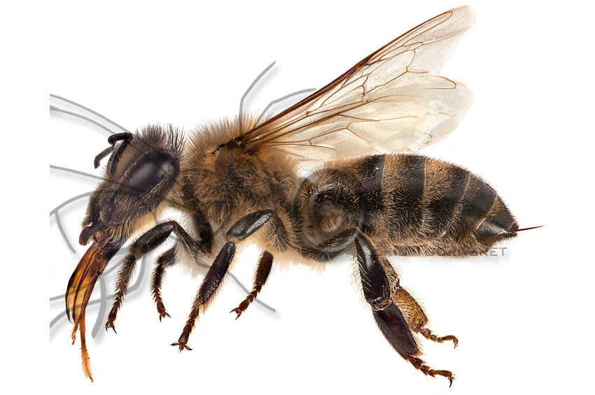 Assemblage of images created with the montage technique of focus stacking to have an optimal depth of field. We can see the bee's anatomy. From left to right: its tongue called proboscis that measures between 5.3 and 7.2 mm, depending on the breed, and which comprises several parts; the furry antennas, which are olfactory perception organs; the eyes with 5000 facets; the thorax, which is the connecting point for the locomotive organs and contains the wing muscles; the back legs that hold the comb for the antennas (tibio-tarsal cleaner); two pairs of wings with the large wing lashed to the small wing by 20 hooks situated on the latter to form a single surface; the middle legs with suction pads and claws at their tips; the abdomen made up of 7 segments that hold the majority of the digestive, respiratory and circulatory systems' organs; the hind legs that hold the tools for gathering the pollen and the propolis: comb, rake and basket; the spur.<br /> Assemblage d&rsquo;images r&eacute;alis&eacute;es avec la technique de montage de focus stacking pour avoir une profondeur de champs optimum. On peut observer l&rsquo;anatomie d&rsquo;une abeille. De gauche &agrave; droite: sa langue appel&eacute;e proboscis qui mesure entre 5,3 et 7,2 mm selon la race et qui comprend plusieurs parties. Les antennes poilues qui sont des organes de perception olfactif. Les yeux &agrave; 5000 facettes. Le thorax qui est le point d&rsquo;attache des organes de locomotion et contient les muscles des ailes. Les pattes ant&eacute;rieures portent le peigne &agrave; antennes (pince tibio-tarsiale). Deux paires d&rsquo;ailes. Pendant le vol la grande aile est arrim&eacute; &agrave; la petite aile par 20 crochets situ&eacute;s sur cette derni&egrave;re pour former une seule surface. Les pattes m&eacute;dianes qui comportent &agrave; leur extr&eacute;mit&eacute; comme toute les pattes des coussinets (ventouses) et des griffes. L&rsquo;abdomen form&eacute; de 7 segments qui contient la majorit&eacute