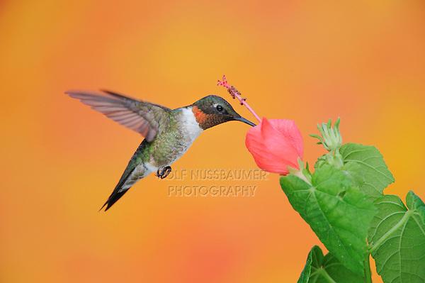 Ruby-throated Hummingbird (Archilochus colubris), male in flight feeding on Turk's Cap (Malvaviscus drummondii), Hill Country, Central Texas, USA