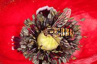 Hain-Schwebfliege, Gemeine Winterschwebfliege, Winter-Schwebfliege, Hainschwebfliege, Schwebfliege, Weibchen auf Mohn, Blütenbesuch, Parkschwebfliege, Episyrphus balteatus, marmalade hoverfly