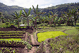 INDONESIA, Flores, planted fields with rice and produce in Waturaka Village