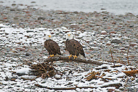 Bald Eagles at Brackindale Eagle Reserve, British Columbia, Canada