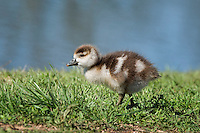 Egyptian Gosling, Inks Dam National Fish Hatchery, Burnet, TX