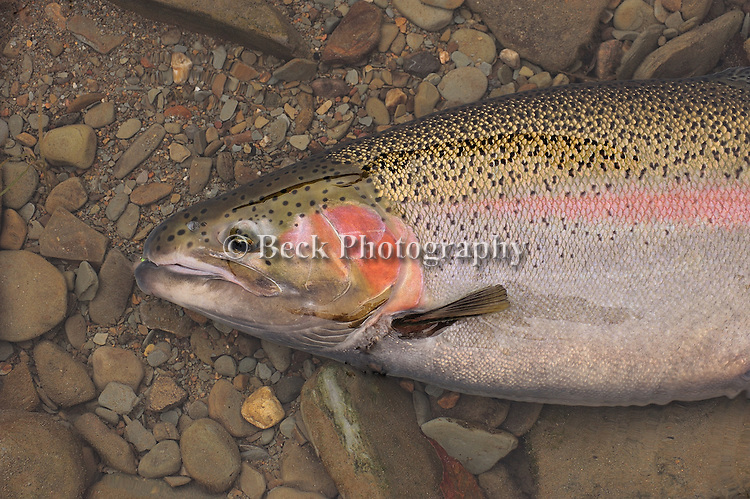 Fly fishing on the Erie tribs for steelhead,