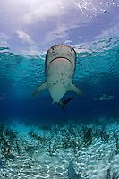 pk11732-D. Tiger Shark (Galeocerdo cuvier). Bahamas, Atlantic Ocean..Photo Copyright © Brandon Cole. All rights reserved worldwide.  www.brandoncole.com..This photo is NOT free. It is NOT in the public domain. This photo is a Copyrighted Work, registered with the US Copyright Office. .Rights to reproduction of photograph granted only upon payment in full of agreed upon licensing fee. Any use of this photo prior to such payment is an infringement of copyright and punishable by fines up to  $150,000 USD...Brandon Cole.MARINE PHOTOGRAPHY.http://www.brandoncole.com.email: brandoncole@msn.com.4917 N. Boeing Rd..Spokane Valley, WA  99206  USA.tel: 509-535-3489