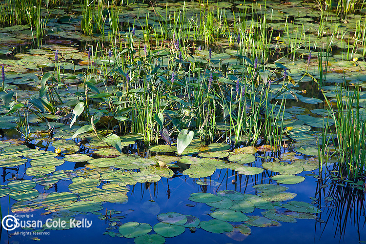 Pickerel weed and pond lilies in the Hop Brook WMA in Tyringham, MA, USA