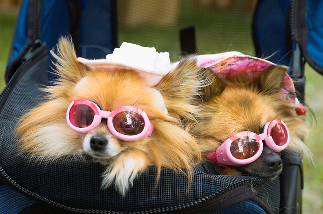 Dogs dressed up in glamorous fashion with pink sunglasses and white hats, worn out and ready for a restful nap, purebred miniature pomeranian pooches being pushed around in a blue stroller.