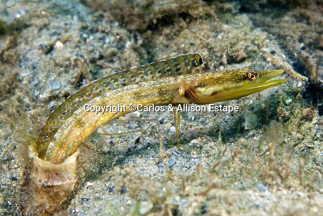 Chaenopsis ocellata, Bluethroat pikeblenny, Blue Heron Bridge, Florida