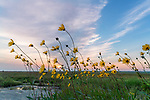 Blue Mounds State Park; Minnesota:<br /> Prairie sunflower (Helianthus petiolaris) flowers stand against the evening sky in a native tallgrass prairie