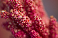 A picture dated March 31, 2013 shows a plant of quinoa in the region of the Uyuni Salt Flats, Jirira, in Oruro, Bolivia.  2013  was declared the international year of Quinoa by the UN.  Bolivia is the main producer of quinoa in the world.
