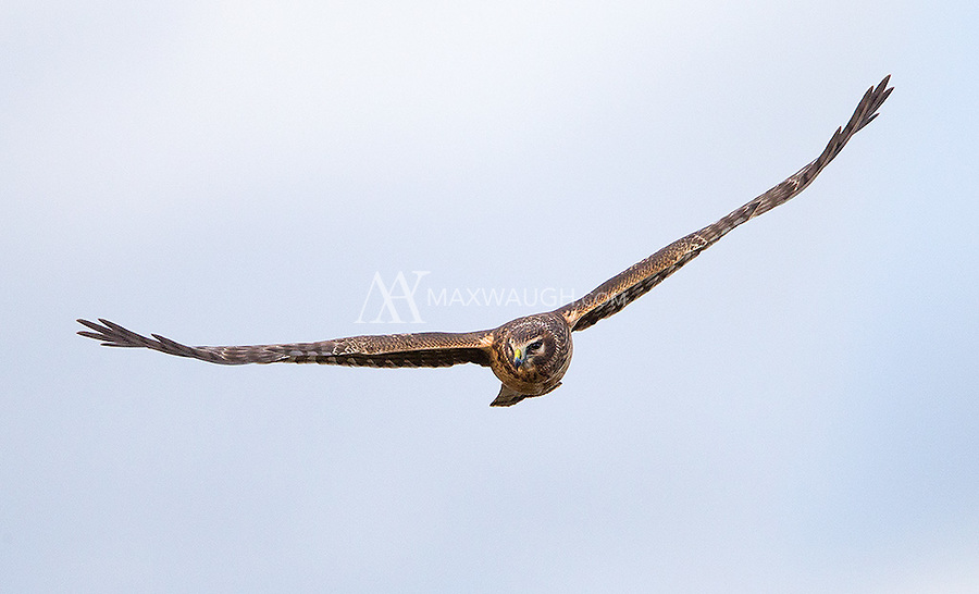 A female Northern harrier glides over winter fields in search of prey.