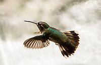 Un colibri revolotea cerca de un ventanal buscando flores de una enredadera.