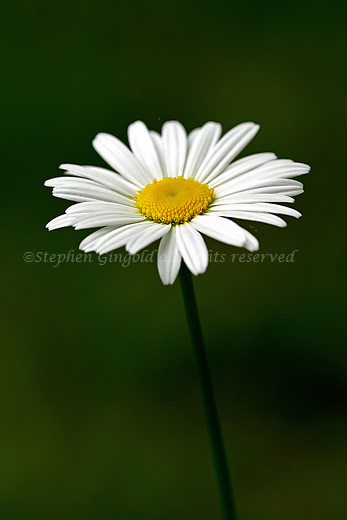 An Oxeye Daisy against a smooth background.