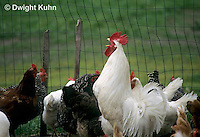 DG13-010z  Chicken - rooster crowing - White Leghorn