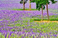Mixed larkspur flower field. Near Silver Falls State Park, Oregon