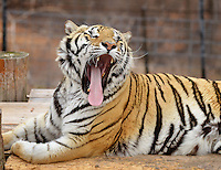 NWA Democrat-Gazette/BEN GOFF -- 03/09/15 Detroit, one of the many rescued tigers at Turpentine Creek Wildlife Refuge, yawns while waking up from a nap at the refuge near Eureka Springs on Monday Mar. 9, 2015.