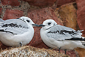 Black-legged kittiwake (Rissa tridactyla) Fledglings on nest, happy housemates. Almost completing the fledgling stage. They have made it through the challenging chick stage of the possibility of being predated from the nest. Now the next phase of life is dawning on them. The feathers have mostly transformed from the downy chick feathers into flight feathers.