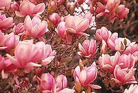 Magnolia soulangeana-Flowering Saucer Magnolia tree in Filoli garden