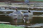 Adult and immature bald eagles gather at Anan Creek, Alaska