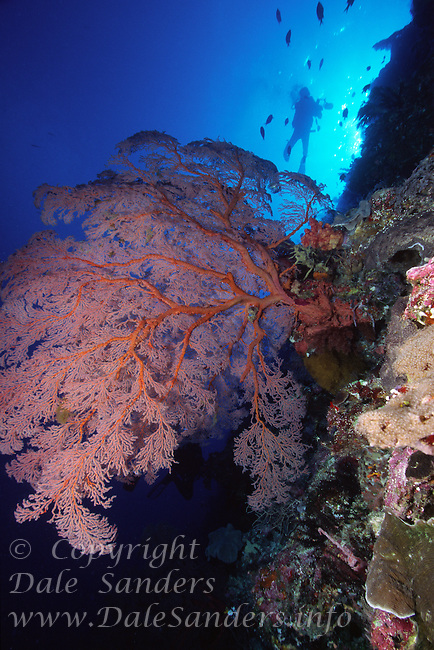 Diver above a giant Gorgonian Coral on the edge of a coral reef, Republic of Palau, Micronesia.