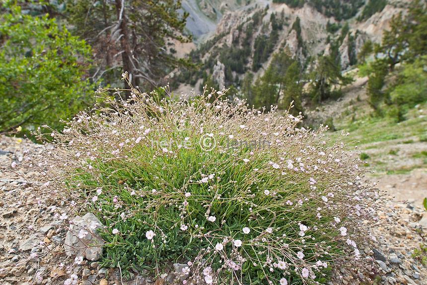 Le Queyras : la Casse Déserte, gypsophile rampante ( Gypsophila repens ) // Gypsophila repens, Alpine Gypsophila (France, Alpes, la Casse Déserte)