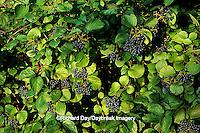 63808-018.18 Arrowwood Viburnum (Viburnum dentatum) berries Marion Co.   IL