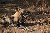 Close-up of an African wild dog yawning.