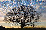 A Valley oak is silhouetted against a mackerel sky at dusk.