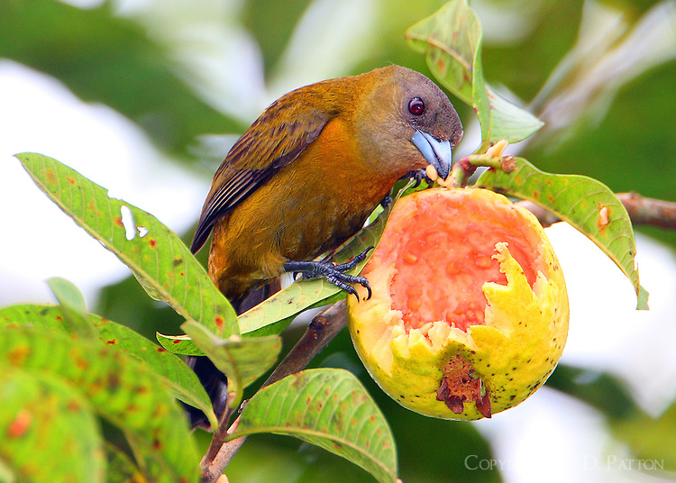 Female Passerini's tanager eating guava opened by a parrot