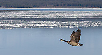 A Canada Goose flies past thawing ice on Yellowstone Lake.