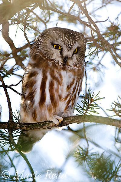 Northern Saw-whet Owl (Aegolius acadicus), adult, Amherst Island, Ontario, Canada