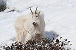 Mountain goat nanny. Snake River Canyon, Wyoming.