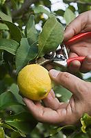 Europe/France/06/Alpes-Maritimes/Menton: Xavier Habart,récolte ses citrons de Menton dans son verger de l'Au-Delà