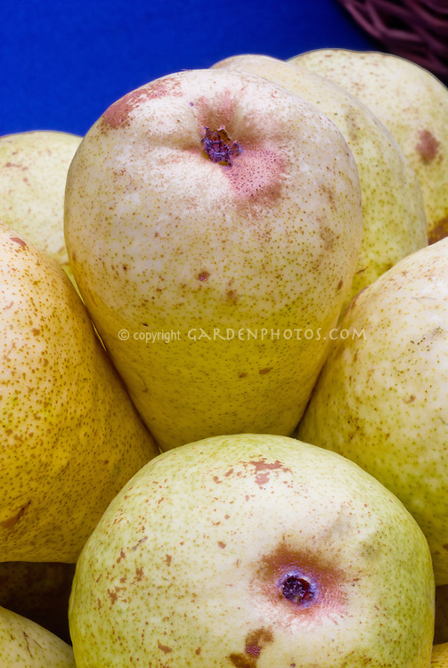 Pyrus Pear 'Beurre Bedford' fruits ripe and picked