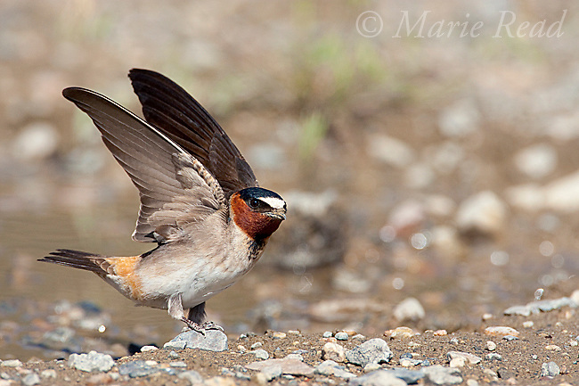 Cliff Swallow (Petrochelidon pyrrhonota), with raised wings, standing at muddy puddle to gather mud as nest material, Mono Lake Basin, California, USA